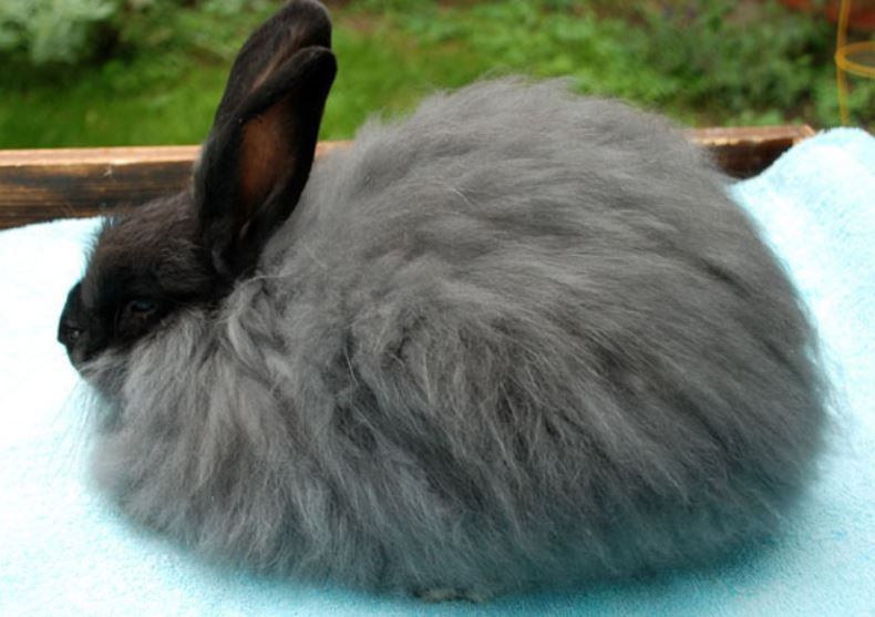 French-Angora-rabbit-image-or-pictur-e.jpg
